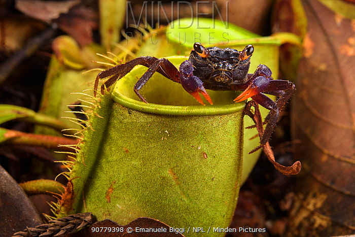 Crab (Geosesarma sp) which raids Pitcher plant (Nepenthes ampullaria) for prey,  Sarawak. Borneo.