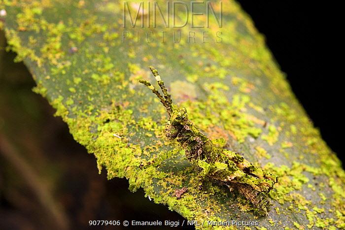 Moss-mimic grasshopper (Aptoceras sp.) camouflaged, Peru