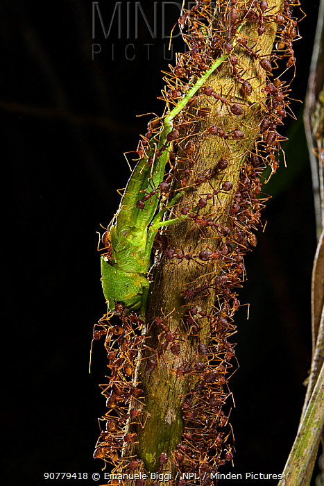 Weaver ants (Oecophylla smaragdina) tearing apart grasshopper, Sabah, Malaysian Borneo.