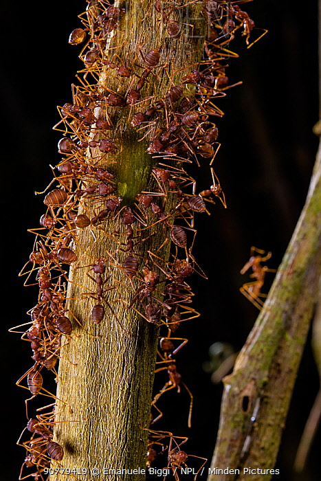 Weaver ants (Oecophylla smaragdina) drinking sap from tree, Sabah, Malaysian Borneo.