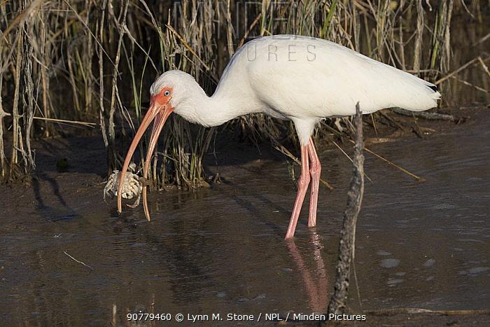 White ibis (Eudocimus albus) in winter plumage, eating Atlantic blue crab (Callinectes sapidus), at edge of saltwater lagoon. St. Petersburg, Florida, USA