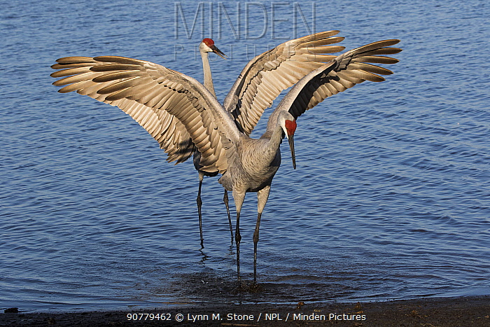 Florida sandhill cranes (Grus canadensis pratensis) displaying in  characteristic dance as part of courtship, Sarasota, Florida, USA (non-ex)