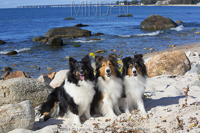 Three Shetland sheepdog females sitting on sand dunes by the sea, Waterford, Connecticut, USA