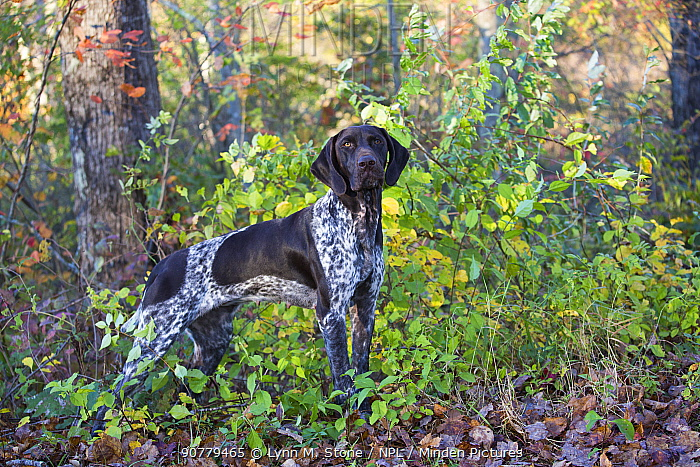 Female German shorthaired pointer standing at edge of woodland. Canterbury, Connecticut, USA