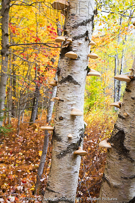 Paper birch tree (Betula papyrifera) trunk covered in Birch polypore bracket fungi (Piptoporus betulinus) October. Green Mountain National Forest, Vermont, USA