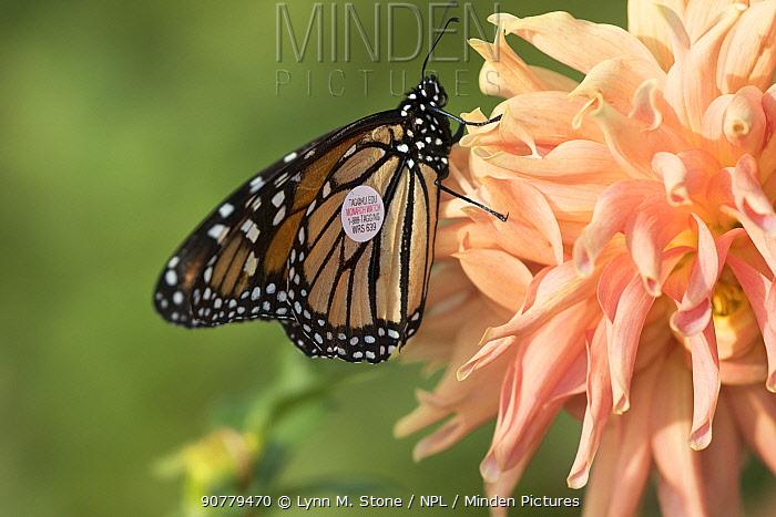 Tagged Monarch butterfly (Danaus plexippus) on Dahlia flower, October. Waterford, Connecticut, USA (non-ex)