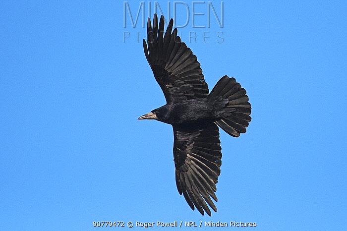 Rook (Corvus frugilegus) in flight. Boulmer, Northumberland, England, UK, January
