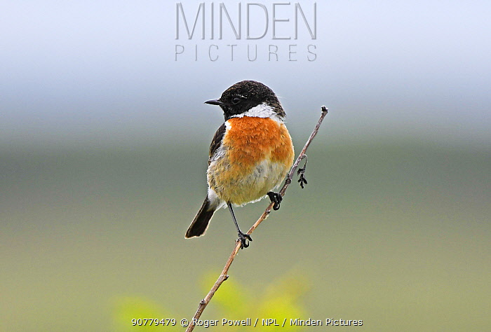 Common stonechat (Saxicola torquatus) perched on twig. Druridge Bay, Northumberland, England, UK, June