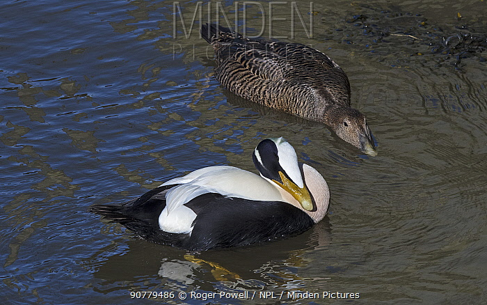 Pair of Common eiders (Somateria mollissima). Male preening with female circling and posturing for copulation. Amble Harbour, Northumberland, England, UK, March