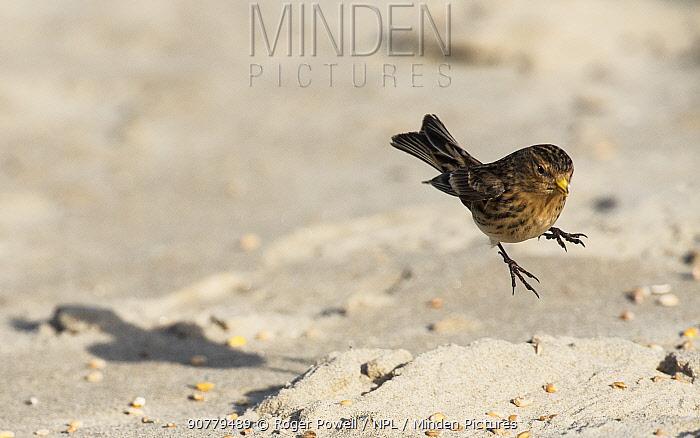 Twite (Linaria flavirostris) landing on beach to feed. Druridge Bay, Northumberland, England, UK, February