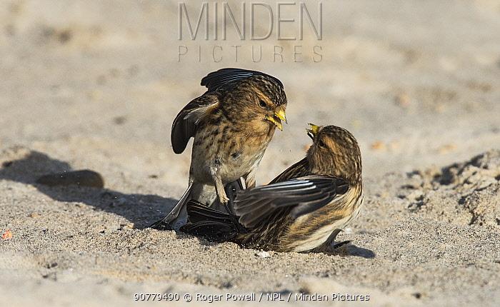 Pair of Twites (Linaria flavirostris) fighting. Druridge Bay, Northumberland, England, UK, February