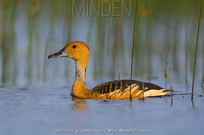 Fulvous whistling-duck (Dendrocygna bicolor) La Pampa, Patagonia, Argentina