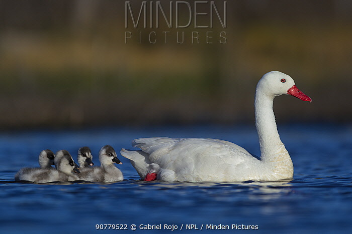 Coscoroba swan (Coscoroba coscoroba) with chicks on water, La Pampa, Argentina