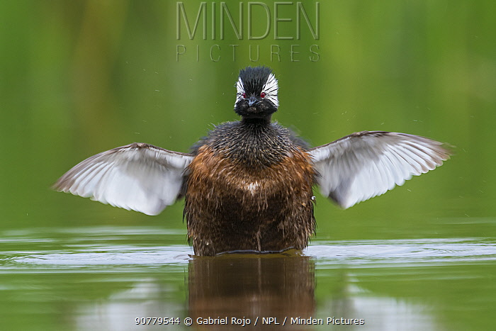 White-tufted grebe (Rollandia rolland) stretching wings, La Pampa, Argentina