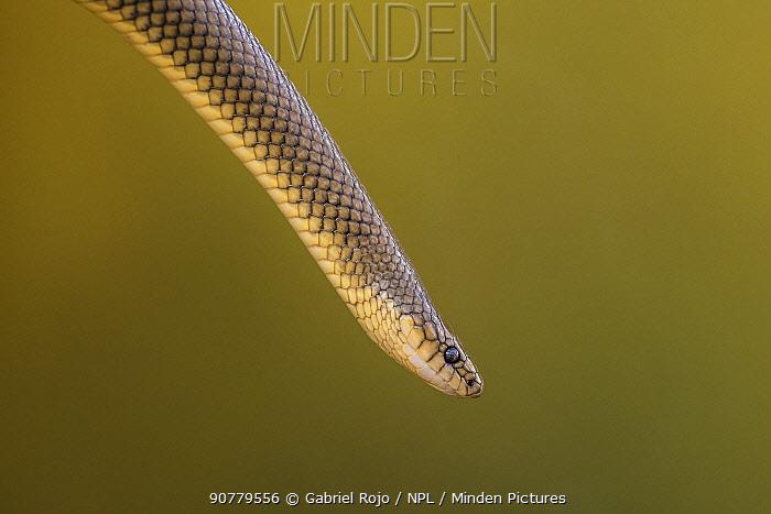 Culebra snake (Paraphimophis rustica) captive, occurs in South America.