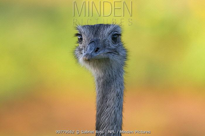 Common rhea,  (Rhea americana) head portrait, La Pampa, Argentina
