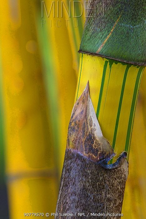 Bamboo (Guadua angustifolia 'Bicolor') Costa Rica.