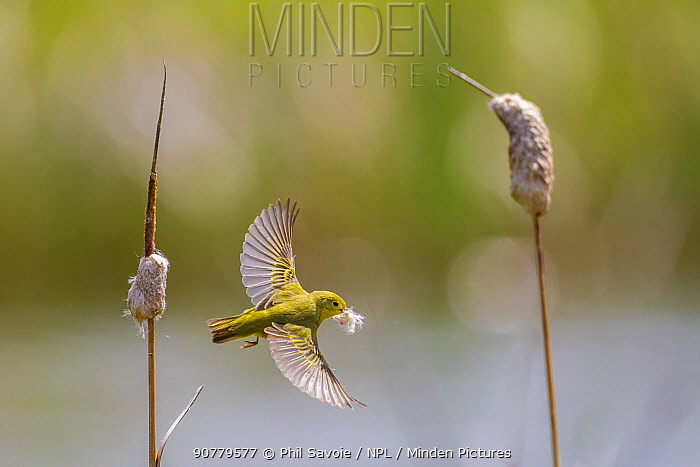 Yellow warbler (Dendroica petechia) collecting nesting material from Bulrush cattail (Typha sp) Bozeman, Montana. USA, June.