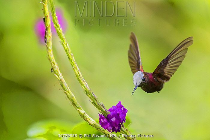 Snowcap hummingbird (Microchera albocoronata)  visiting Porterweed (Stachytarpheta sp), Braulio Carrillo National Park,  Talamancan montane forest, Costa Rica. Endemic species.