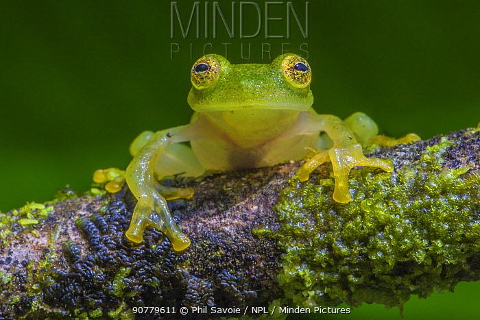 Fleischmann's glass frog (Hyalinobatrachium fleischmanni) La Selva Field Station, Costa Rica.