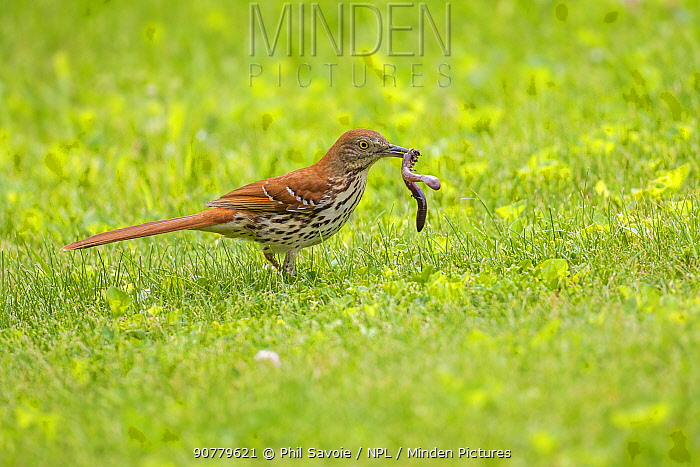 Brown thrasher (Toxostoma rufum) feeding on worm on  lawn, Wisconsin, USA.