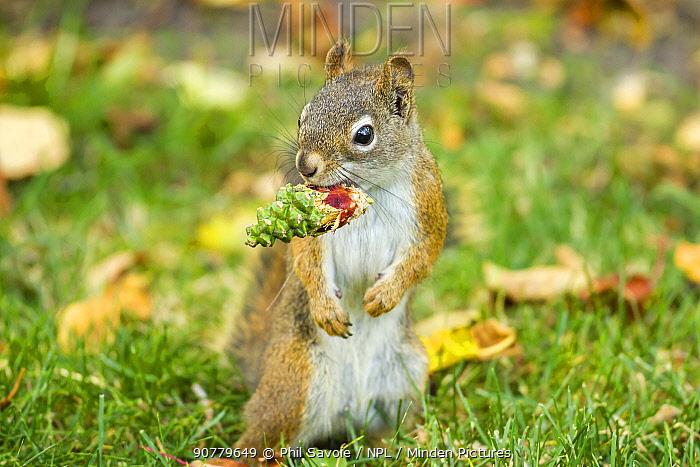 American red squirrel (Tamiasciurus hudsonicus) feeding on Douglas Fir (Pseudotsuga menziesii) cones, Montana, USA.