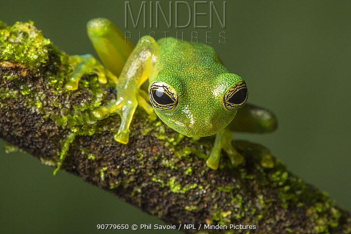 Nicaraguan giant glass frog (Espadarana prosoblepon) La Selva Field Station, Costa Rica.