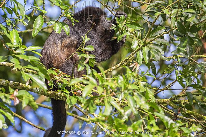 Mantled howler monkey (Alouatta palliata), La Selva, Costa Rica.
