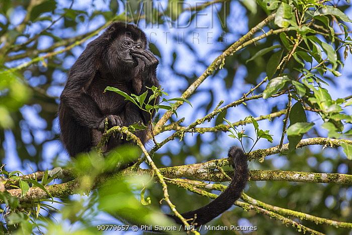 Mantled howler monkey (Alouatta palliata) scratching nose, La Selva, Costa Rica.