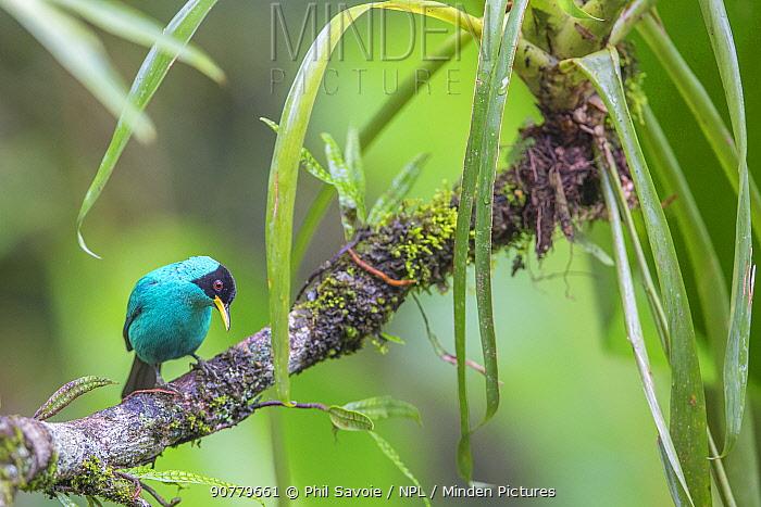 Green honeycreeper (Chlorophanes spiza) male, La Selva Field Station, Costa Rica.