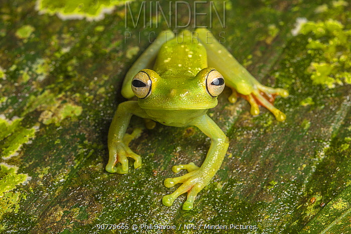 Canal Zone tree frog  (Hypsiboas rufitelus) La Selva, Costa Rica.