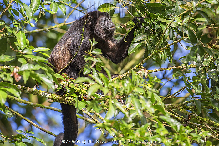 Mantled howler monkey (Alouatta palliata) feeding in tree, La Selva, Costa Rica.