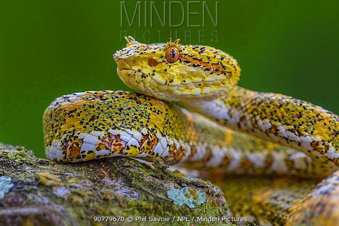 Eyelash viper (Bothriechis schlegelii) Costa Rica.