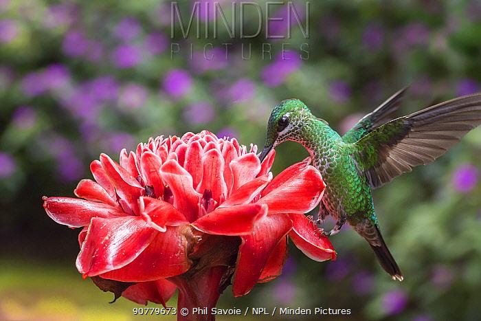 Green-crowned brilliant hummingbird (Heliodoxa jacula) visiting Torch ginger (Etlingera elatior), Poas Volcano National Park Costa Rica