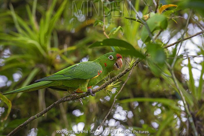Crimson fronted parrot (Aratinga finschi) La Selva Field Station, Costa Rica.
