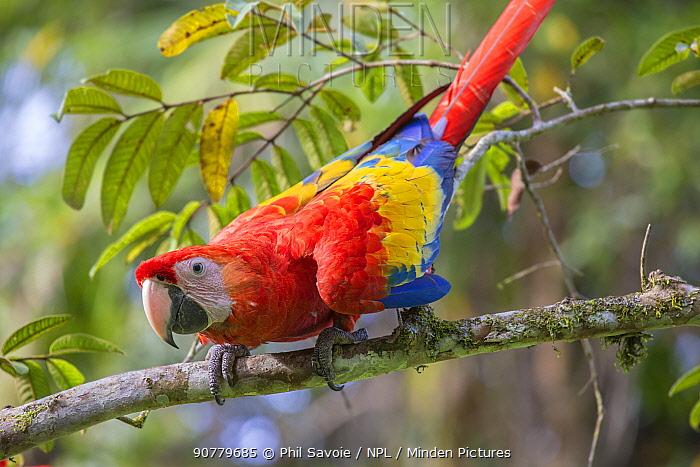 Scarlet macaw (Ara macao) La Selva, Costa Rica.