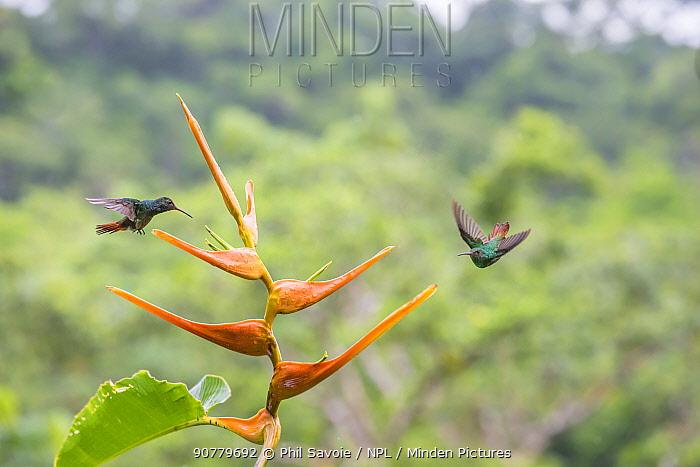 Rufous-tailed hummingbird  (Amazilia tzacatl) territorial fighting around Heliconia flower (Heliconia latispatha) La Selva, Costa Rica.