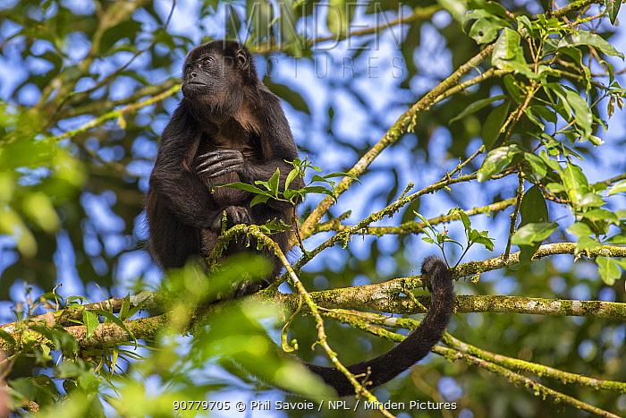 Mantled howler monkey (Alouatta palliata) in tree,  La Selva, Costa Rica.