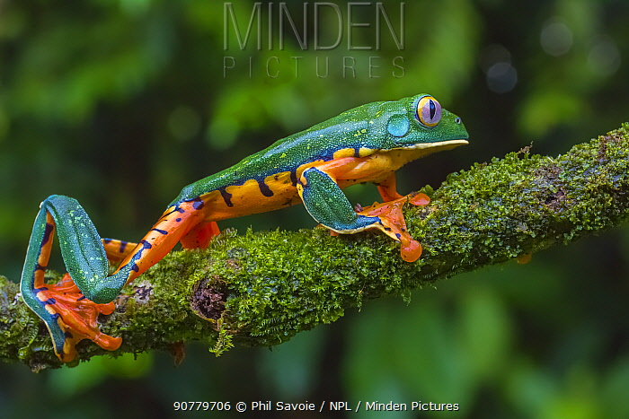 Splendid leaf rog (Cruziohyla calcarifer) La Selva Field Station, Costa Rica.