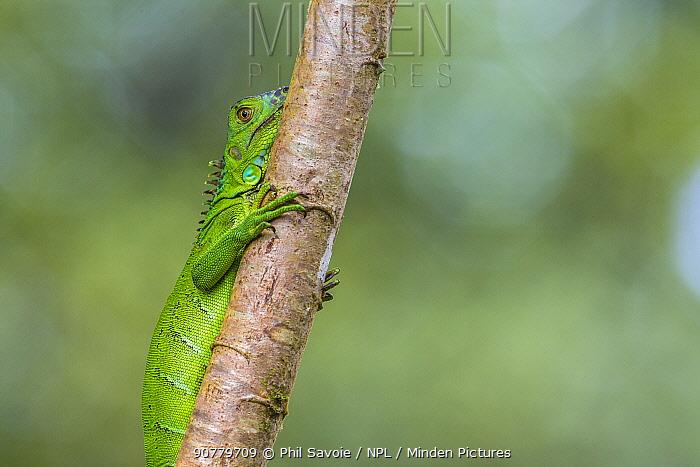 Green iguana (Iguana iguana) juvenile, Costa Rica.
