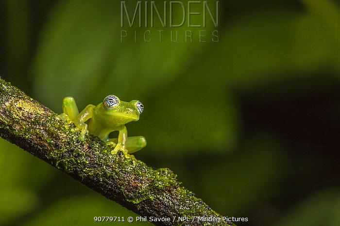 Nicaragua giant glass frog (Espadarana prosoblepon) La Selva Field Station, Costa Rica.