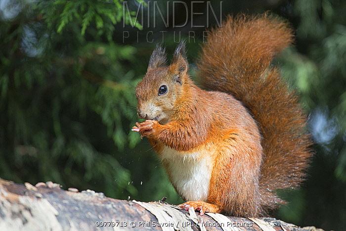 Eurasian red squirrel (Sciurus vulgaris), feeding on seeds in cone, Plas Newydd, Anglesey, Wales, UK, September.