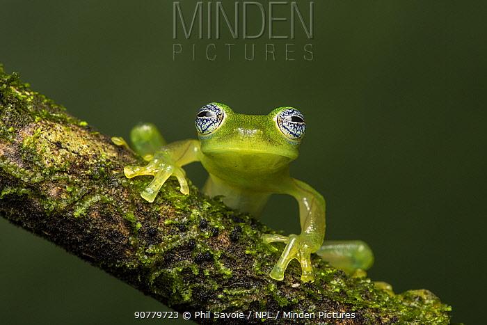Nicaragua Giant Glass Frog  (Espadarana prosoblepon aka Centrolene prosoblepon) La Selva Field Station, Costa Rica.
