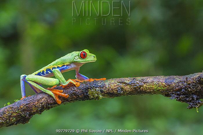 Red eyed tree frog (Agalychnis callidryas) La Selva Field Station, Costa Rica.