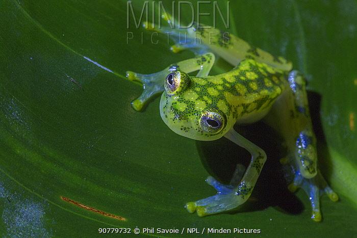 Reticulated glass frog (Hyalinobatrachium valerioi) La Selva Field Station, Costa Rica.