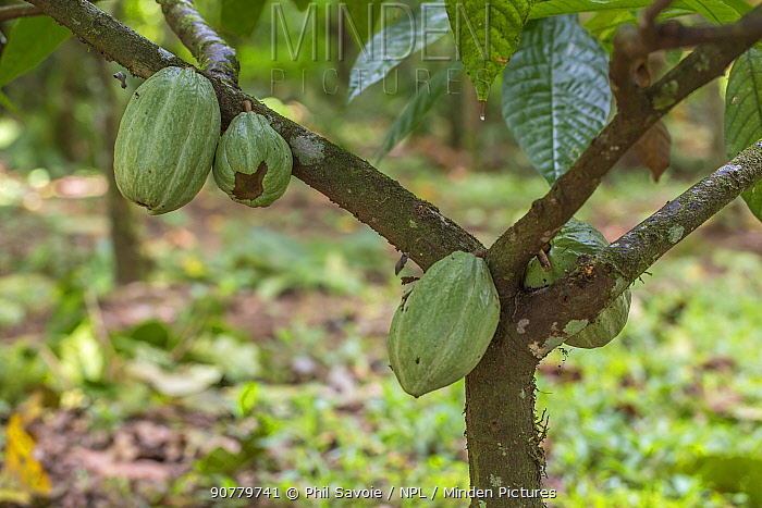 Cacao / Chocolate (Theobroma cacao) plant with ripening seed pods, Costa Rica.