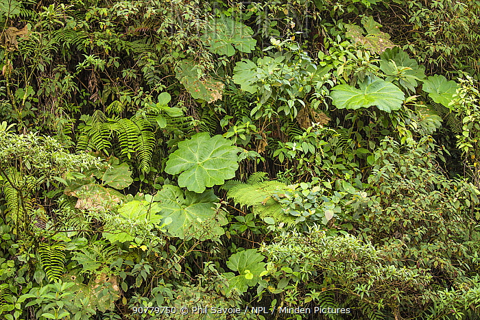 Understory in Talamancan montane forest, Braulio Carrillo National Park, Costa Rica.