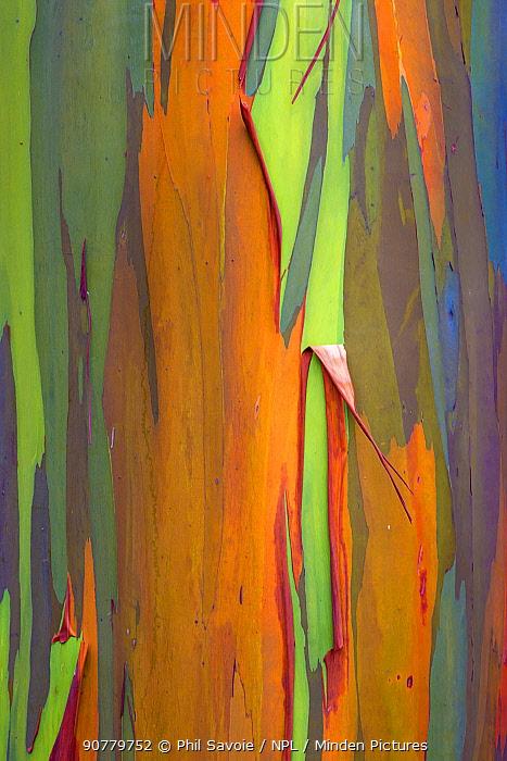 Rainbow eucalyptus (Eucalyptus deglupta) bark, Costa Rica. Small repro only.