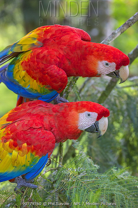Scarlet macaws (Ara macao) La Selva, Costa Rica.