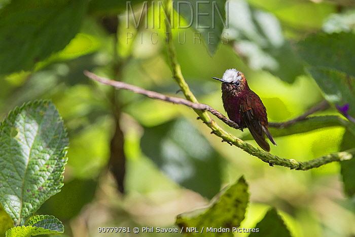 Snowcap hummingbird (Microchera albocoronata) Braulio Carrillo National Park,  Talamancan montane forest, Costa Rica. Endemic species.